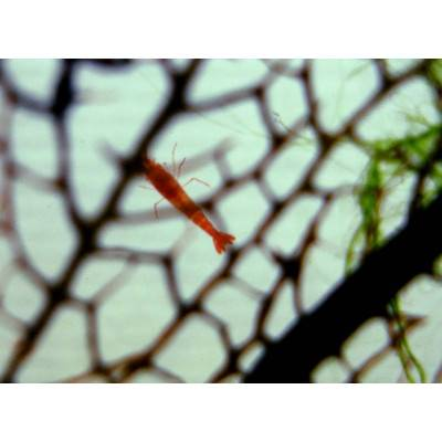 T.A.O.S. BeachWorld Biosféra DROP s korálem 12,5cm DG5